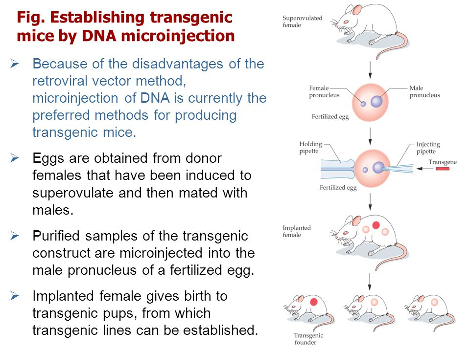 Fig. Establishing transgenic mice by DNA microinjection