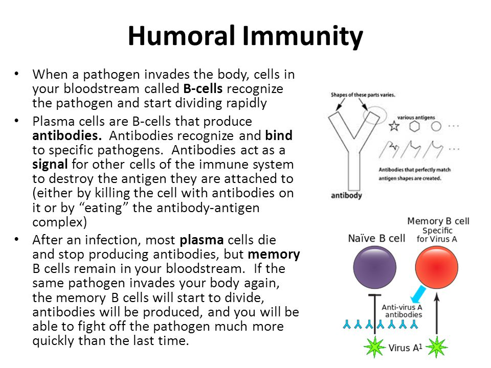 Humoral Immunity When a pathogen invades the body, cells in your bloodstream called B-cells recognize the pathogen and start dividing rapidly.