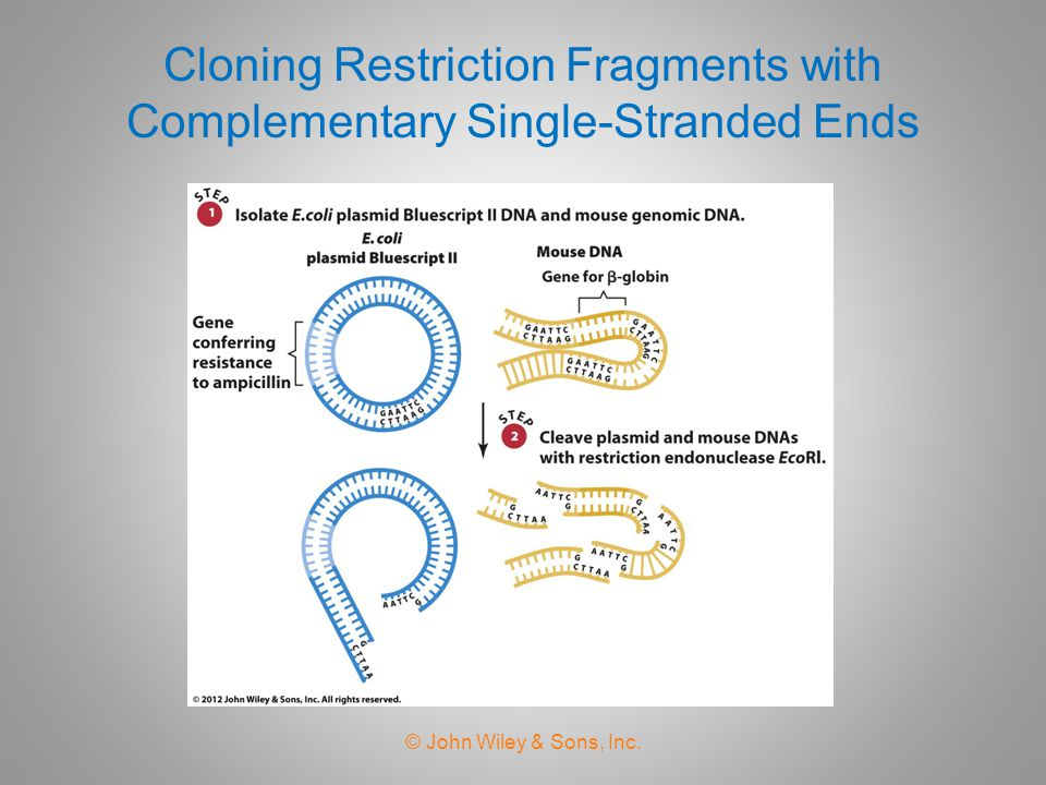 Cloning Restriction Fragments with Complementary Single-Stranded Ends