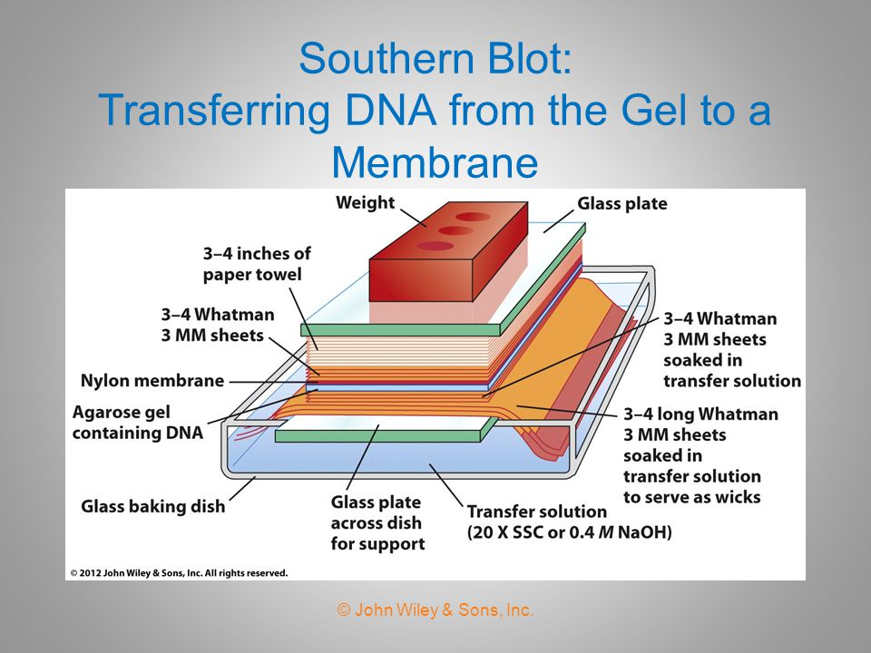 Southern Blot: Transferring DNA from the Gel to a Membrane