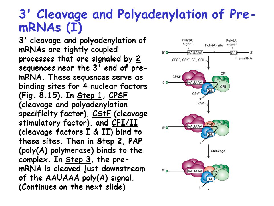 processes of polyadenylation Abstract: impact of mrna processing and/or modifications has long been associated with gene expression regulation accumulating evidence shows alternative polyadenylation (apa), as an mrna related process, to emerge as a wide- spread mechanism in gene expression regulation through selecting alternate.