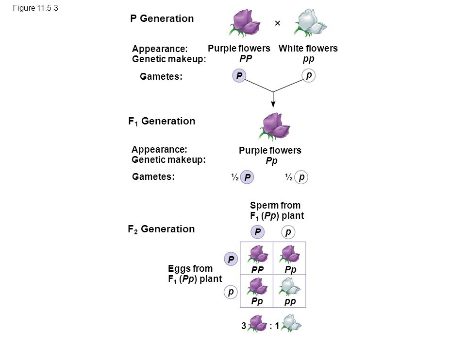 Mendel and the Idea of...P Generation