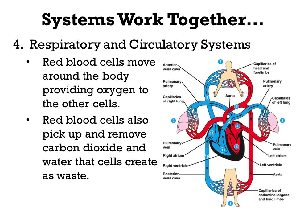 How The Circulatory System Works With Other Body Systems Otto