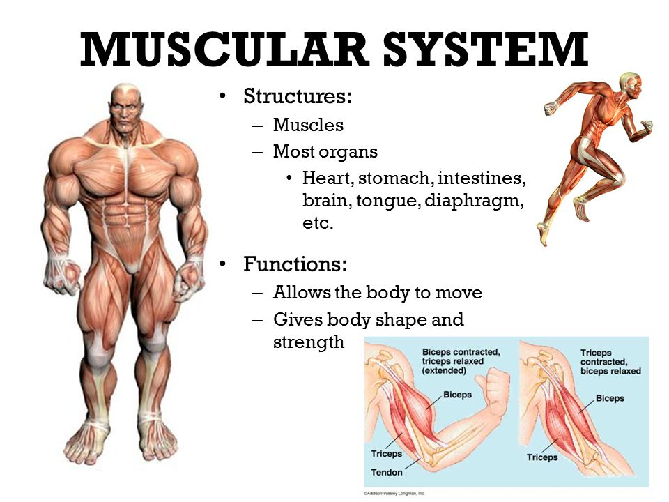 structures, functions and interdependence - ppt video online download, Muscles
