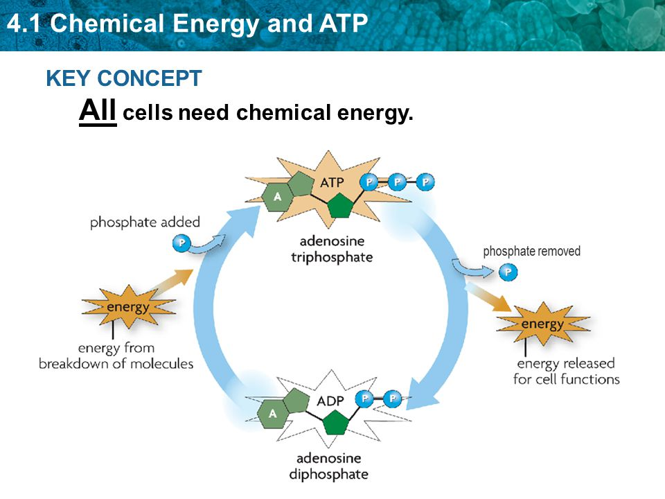 4 1 Chemical Energy And Atp Ppt Video Online Download