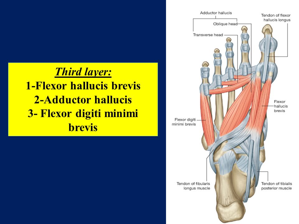 flexor digiti minimi brevis - photo #35