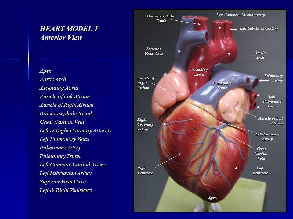 heart model i anterior view - ppt video online download, Cephalic Vein