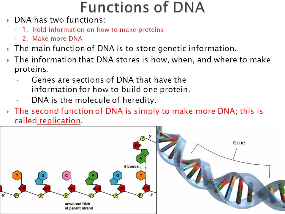 the main characteristics of dna and its functions Function dna  there are three main types of rna:  dna's genes are  expressed, or manifested, through the proteins that its  the information found in  dna determines which traits are to be created, activated,.