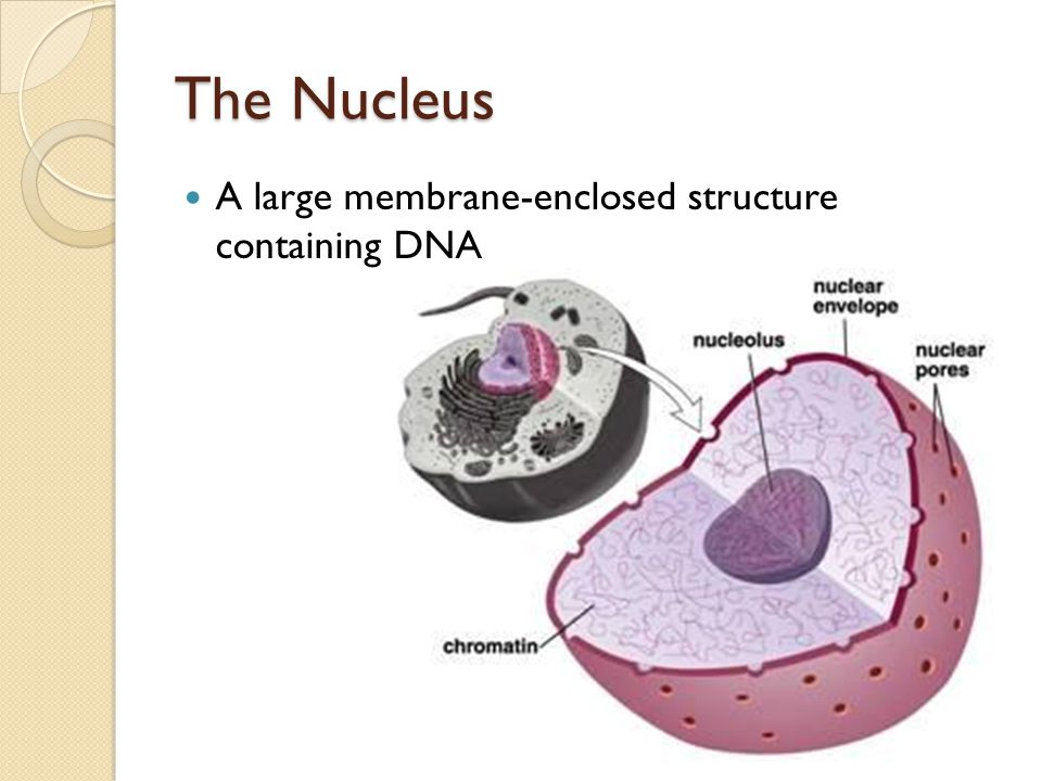 a membrane enclosed nucleus In eukaryotic cells, the membrane that surrounds the nucleus — commonly called   of both genomes, and it ultimately becomes enclosed in an endomembrane,.