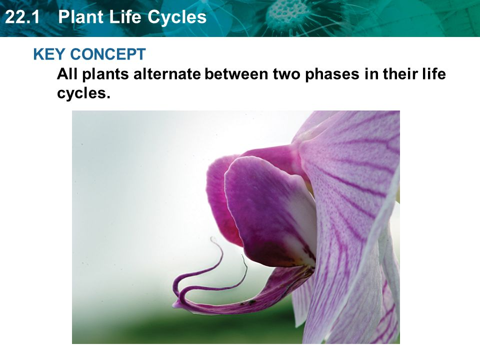 KEY CONCEPT All plants alternate between two phases in their life cycles.