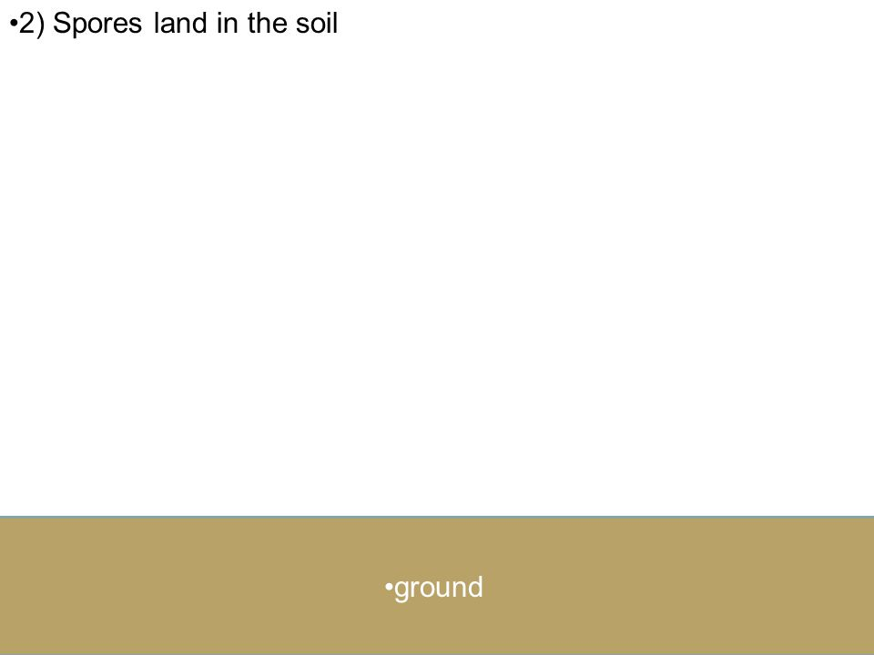 2) Spores land in the soil