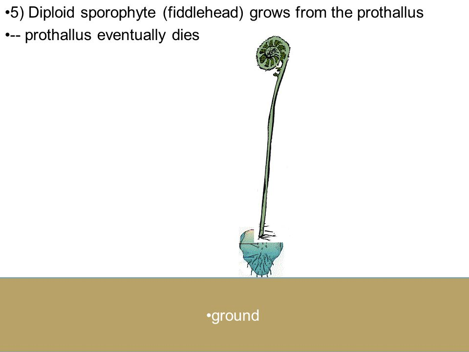 5) Diploid sporophyte (fiddlehead) grows from the prothallus