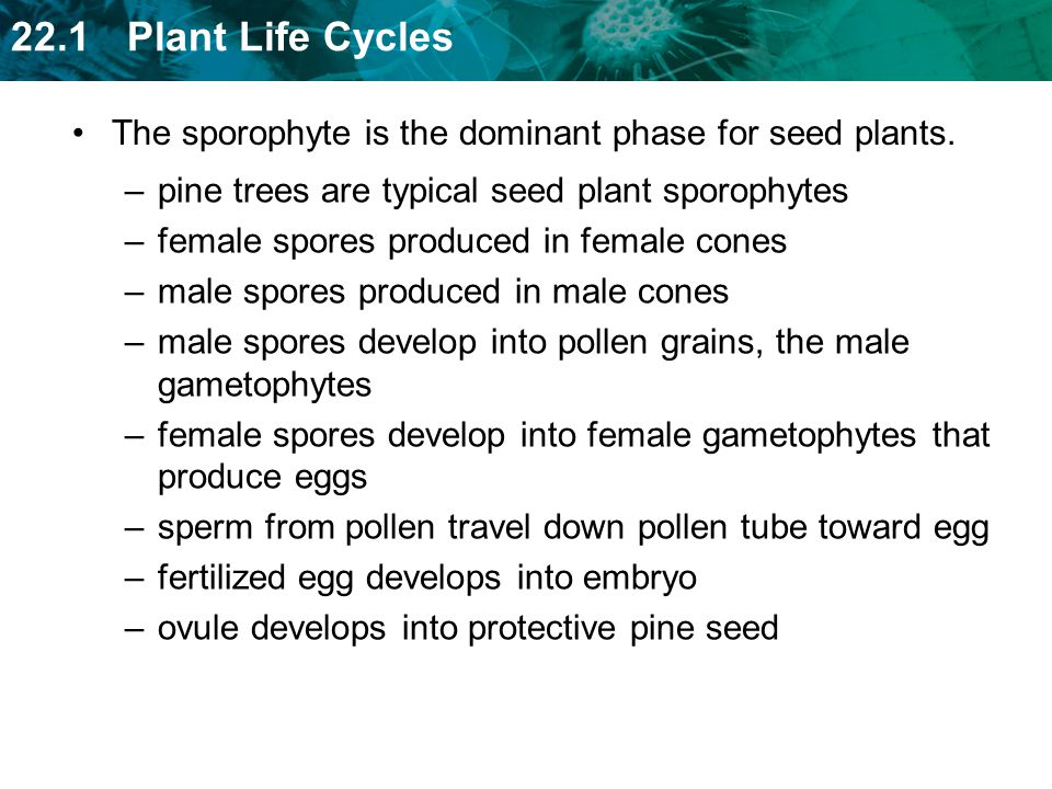 The sporophyte is the dominant phase for seed plants.
