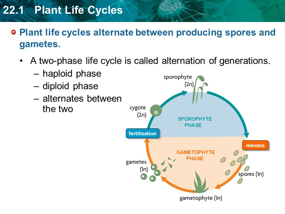Plant life cycles alternate between producing spores and gametes.