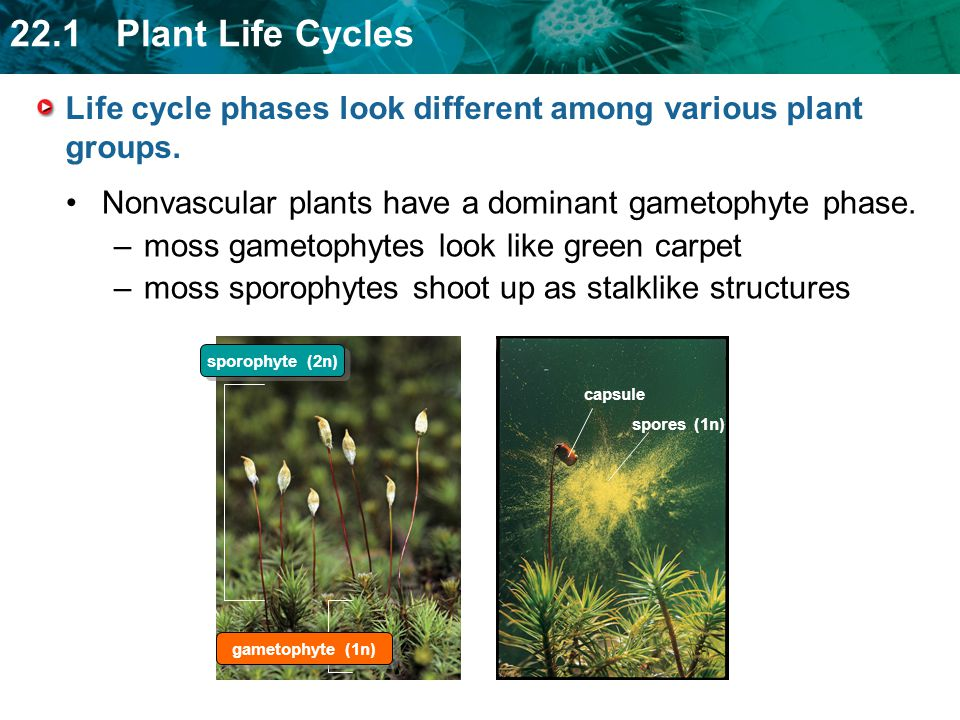 Life cycle phases look different among various plant groups.
