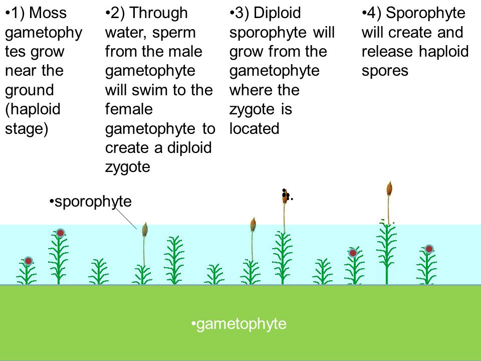 1) Moss gametophytes grow near the ground (haploid stage)