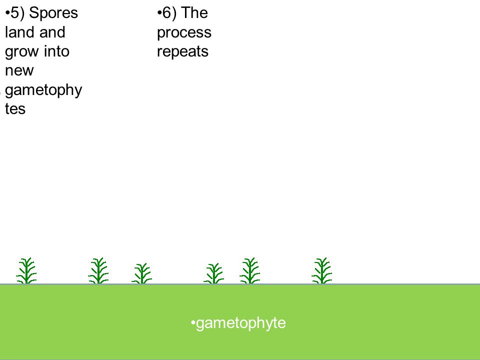 5) Spores land and grow into new gametophytes 6) The process repeats