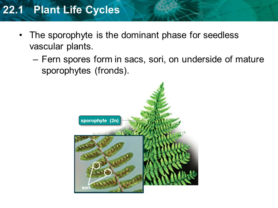 The sporophyte is the dominant phase for seedless vascular plants.