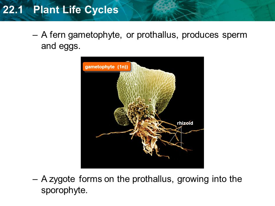 A fern gametophyte, or prothallus, produces sperm and eggs.