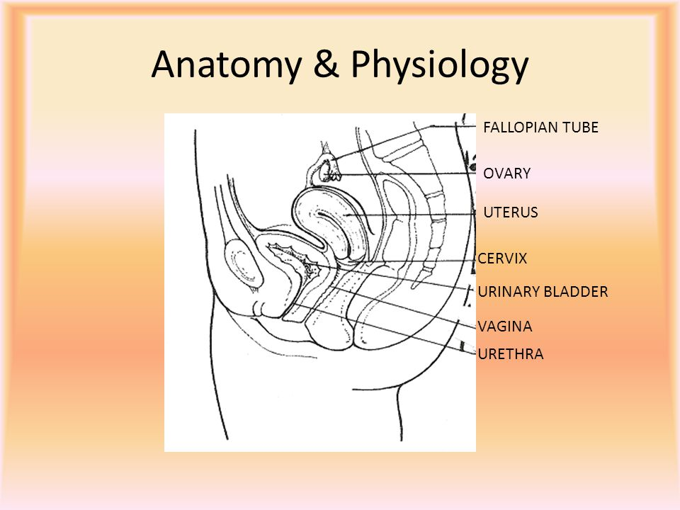 FEMALE REPRODUCTIVE SYSTEM - ppt video online download