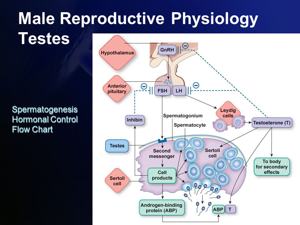Reproductive physiology ppt download 33 male reproductive physiology testes spermatogenesis hormonal control flow chart ccuart Images