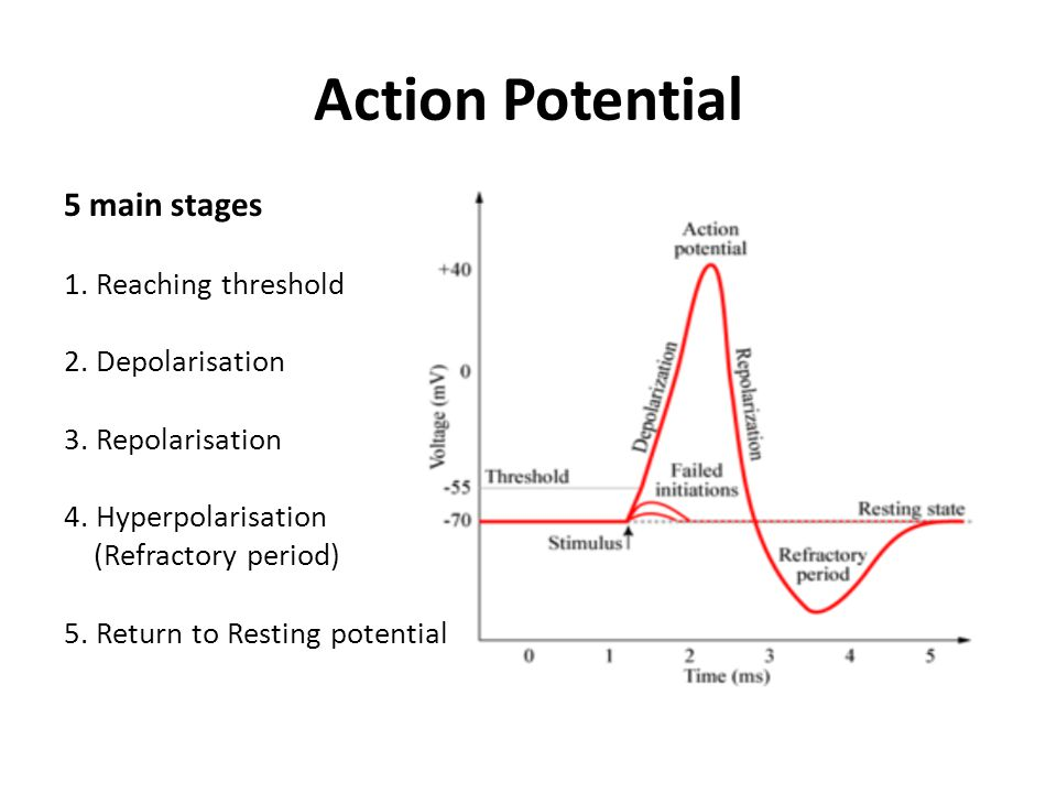 Action Potentials Miss Tagore A2 Biology ppt video online download – Action Potential Worksheet