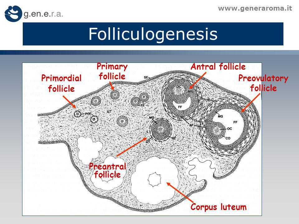 Preovulatory follicle