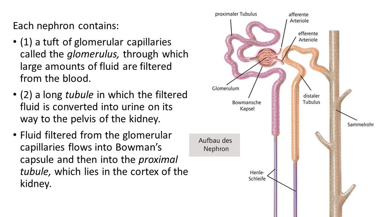 Fein Distalen Gewundenen Tubulus Bilder - Physiologie Von ...