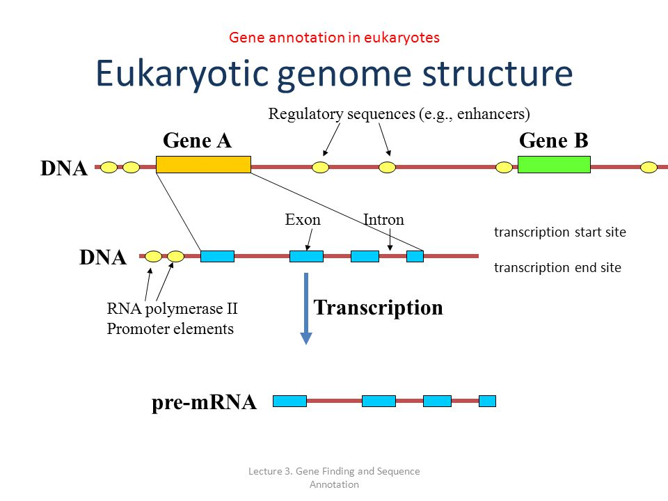 18 lectures ppt for eukaryotic gene Ch 18: regulation of gene expression  182: eukaryotic gene expression can be regulated at any stage  lectures by mark manteuffel, st louis community college.
