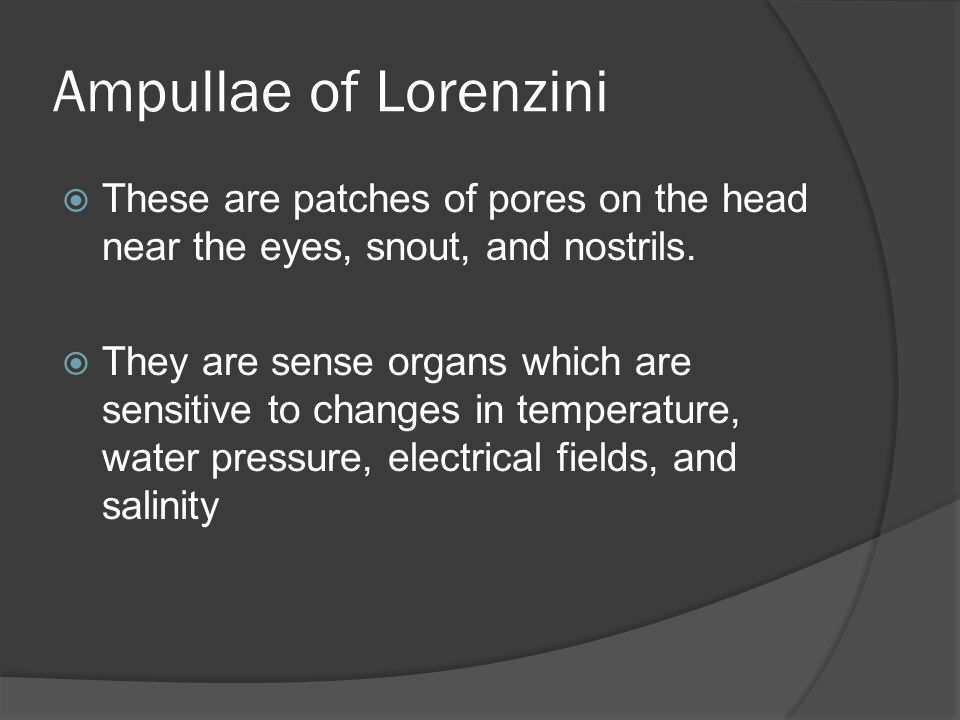 Ampullae of Lorenzini These are patches of pores on the head near the eyes, snout, and nostrils.