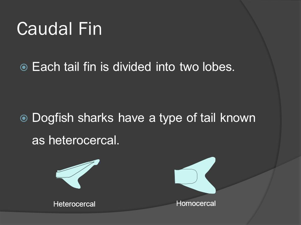 Caudal Fin Each tail fin is divided into two lobes.