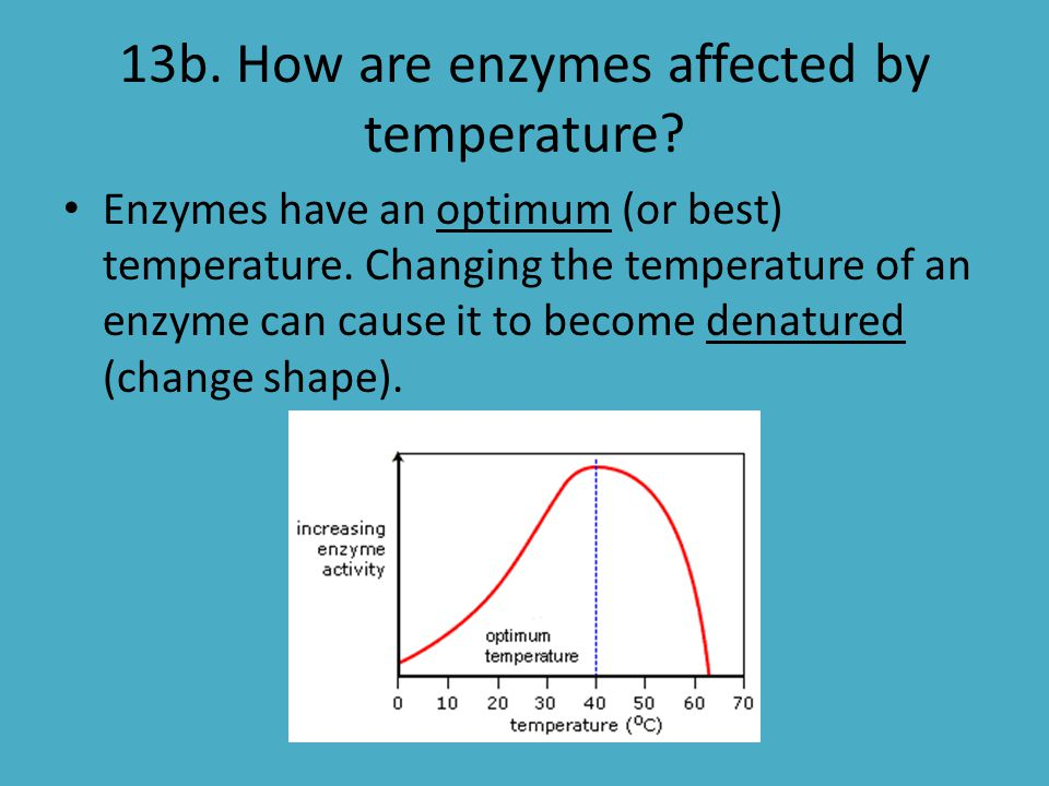 13b. How are enzymes affected by temperature