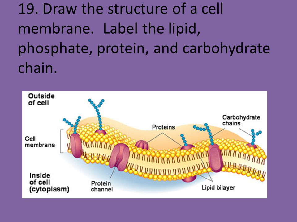 19. Draw the structure of a cell membrane
