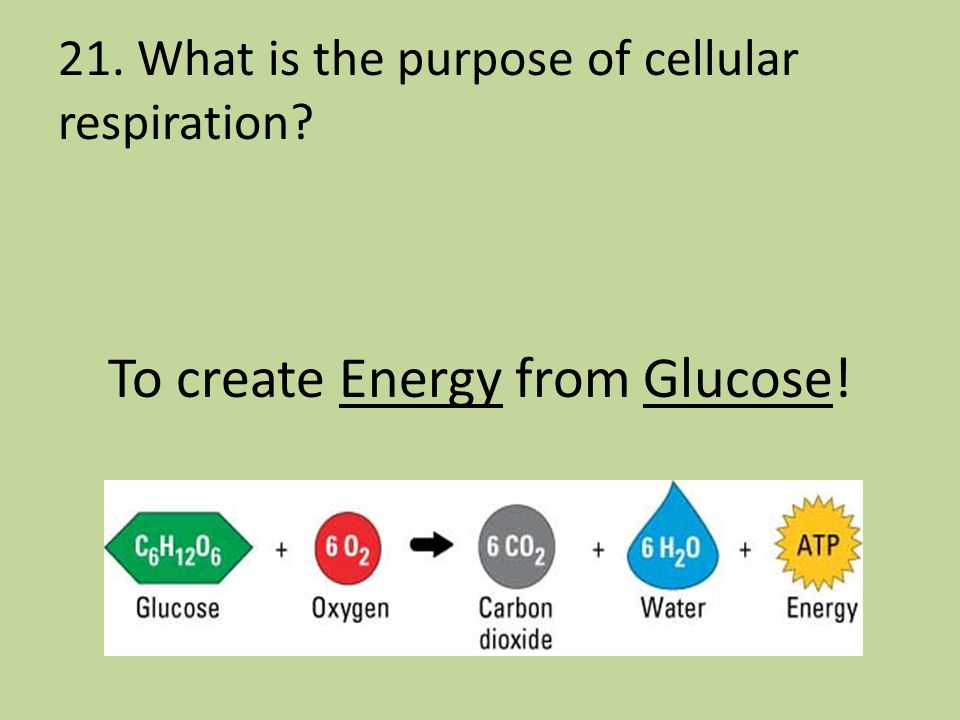 21. What is the purpose of cellular respiration