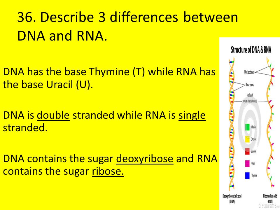 36. Describe 3 differences between DNA and RNA.