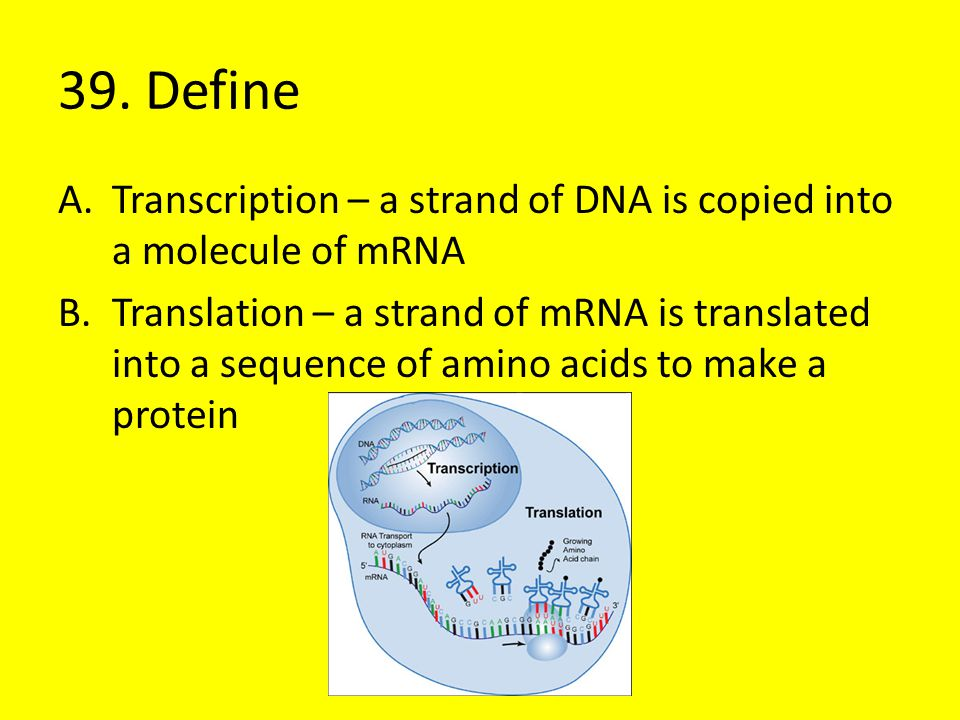 39. Define Transcription – a strand of DNA is copied into a molecule of mRNA.