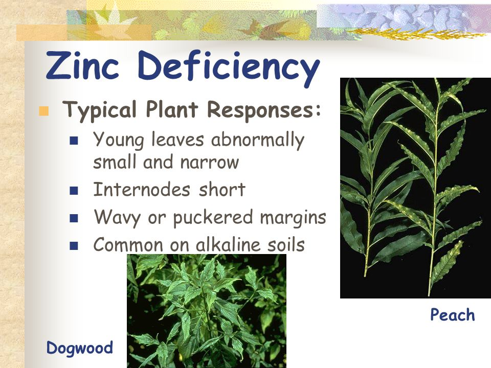 Fertilize appropriately ppt video online download for Soil zinc deficiency
