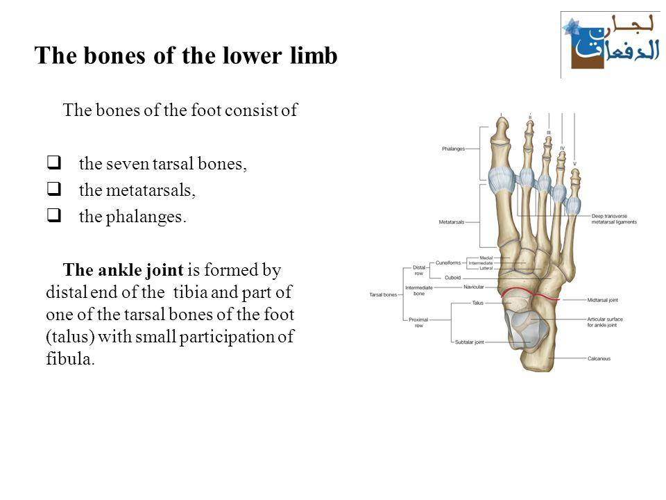 Bony foot anatomy