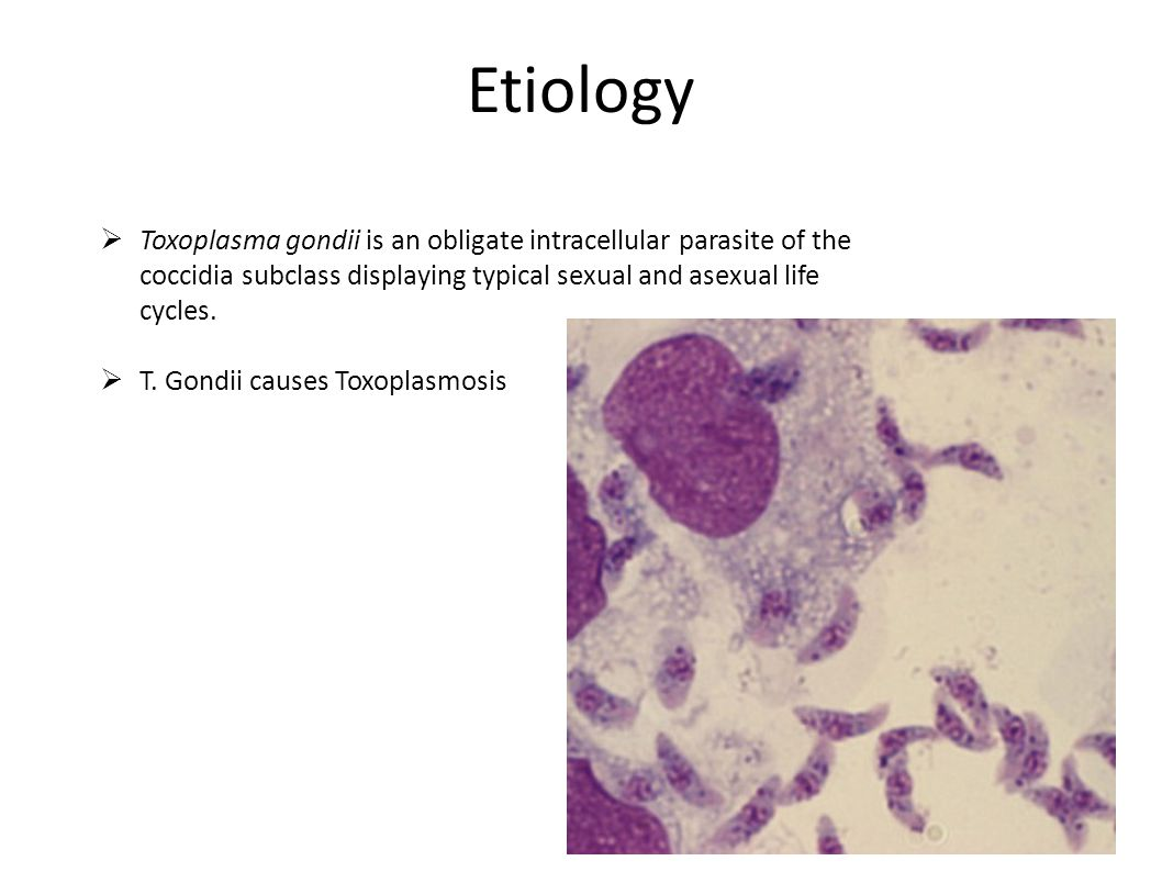 Etiology Toxoplasma gondii is an obligate intracellular parasite of the coccidia subclass displaying typical sexual and asexual life cycles.