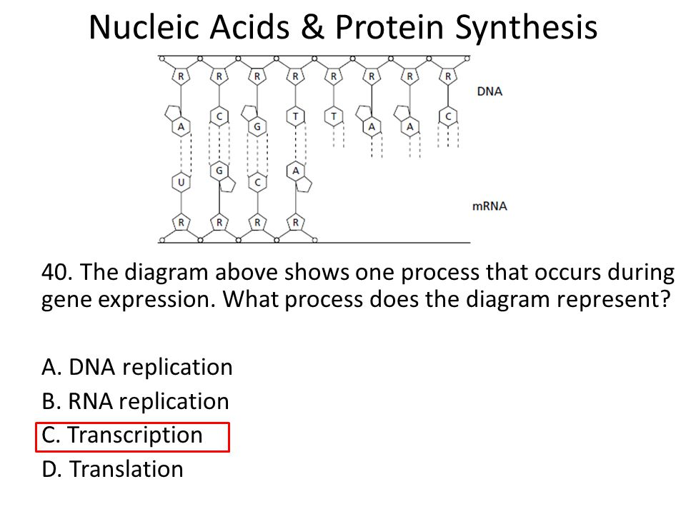 Nucleic Acids & Protein Synthesis - ppt download