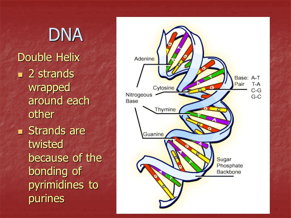 DNA Double Helix 2 strands wrapped around each other