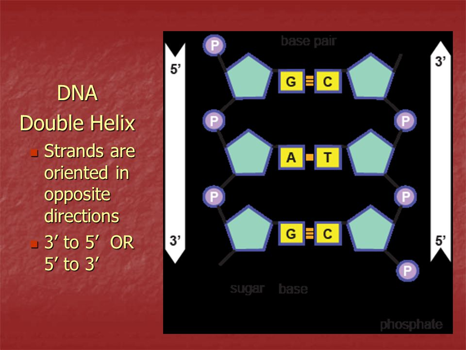 DNA Double Helix Strands are oriented in opposite directions