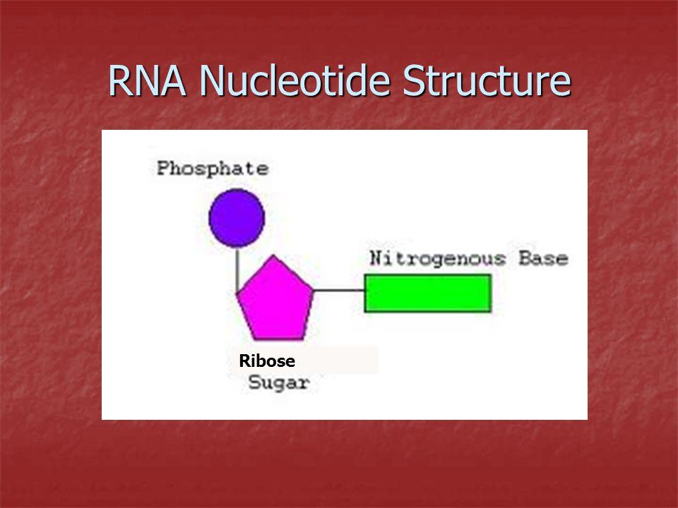 RNA Nucleotide Structure