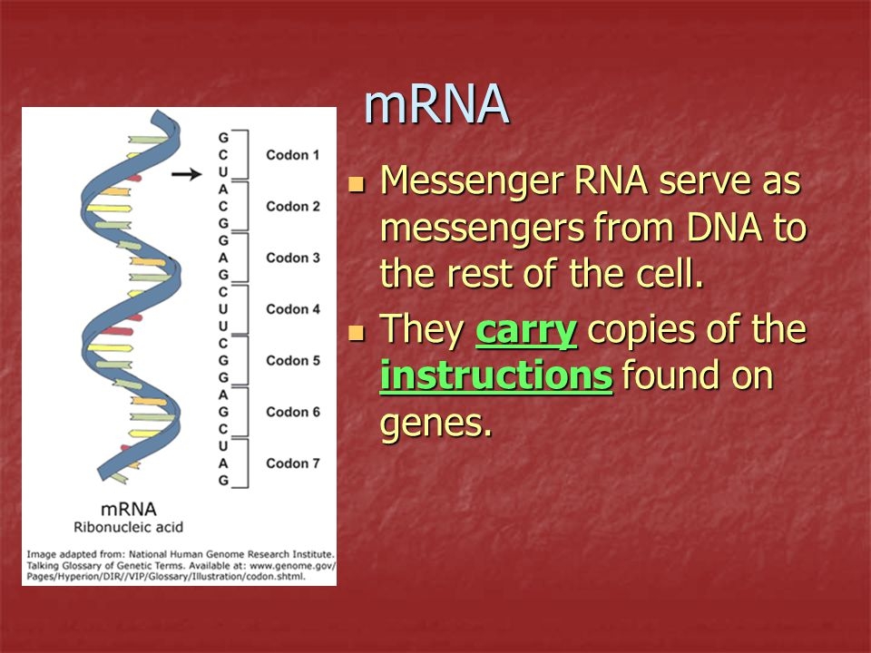 mRNA Messenger RNA serve as messengers from DNA to the rest of the cell.