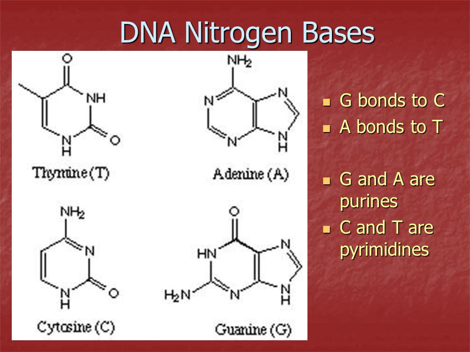 DNA Nitrogen Bases G bonds to C A bonds to T G and A are purines
