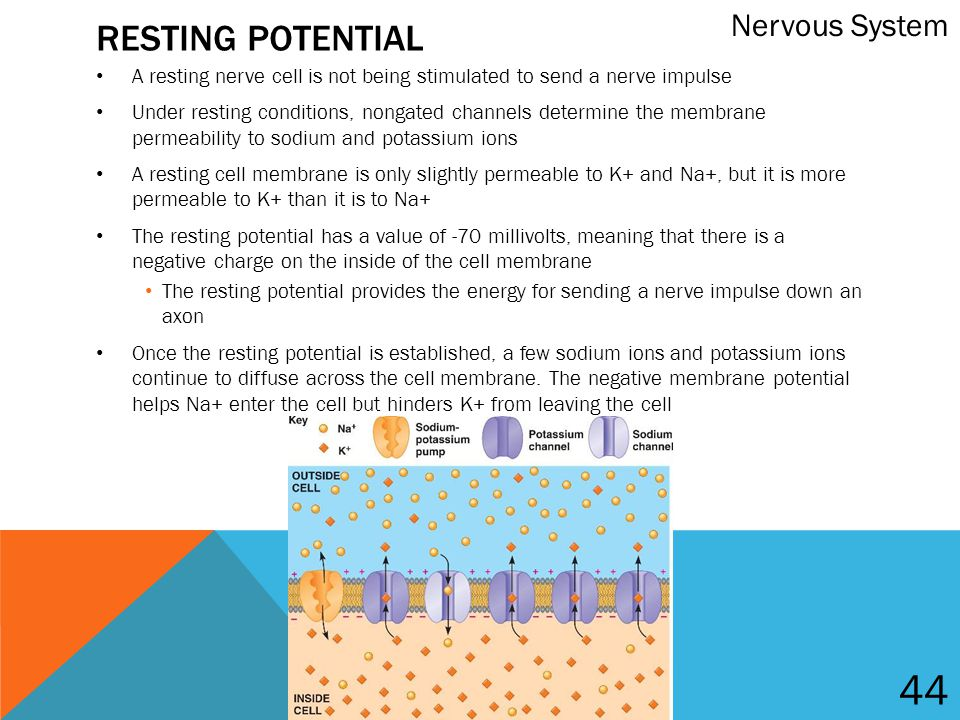 the nervous system membrane potential The central nervous system consists of brain, spinal cord and the peripheral nerves neurons transfer information (obtained difference between the interior and the exterior side of the membrane this potential difference is caused by different concentration of negative and positive charged.