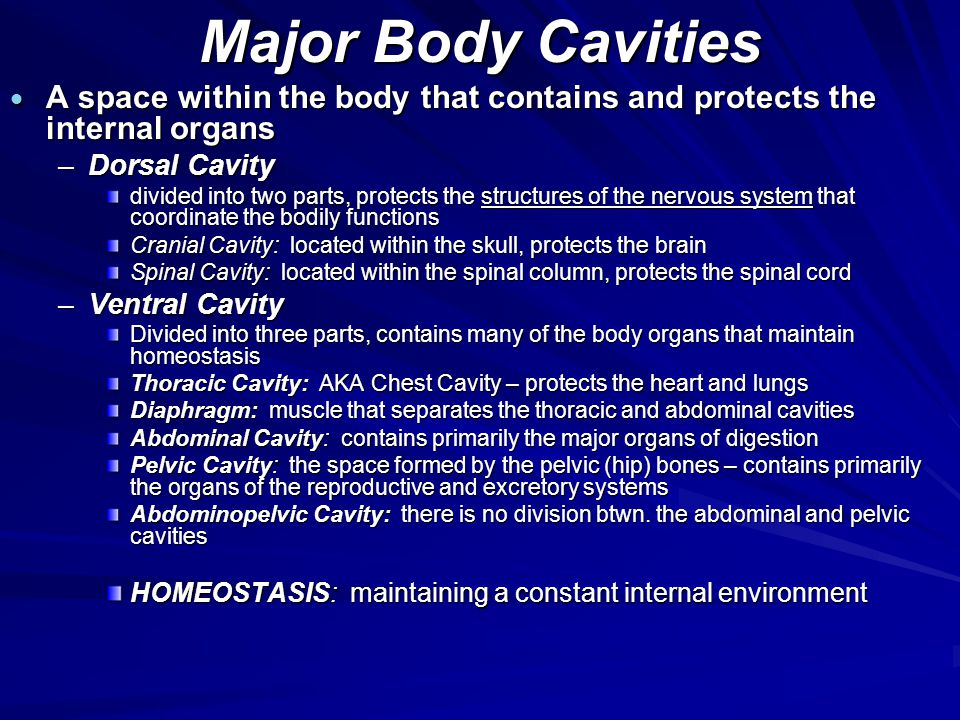 Major Body Cavities A space within the body that contains and protects the internal organs. Dorsal Cavity.