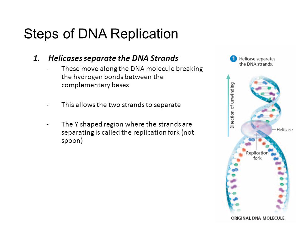 steps of dna replication –helicase begins to unwind the dna at the origin of replication (a specific dna nucleotide sequence) it's common to only show one strands sequence of bases, since the other.
