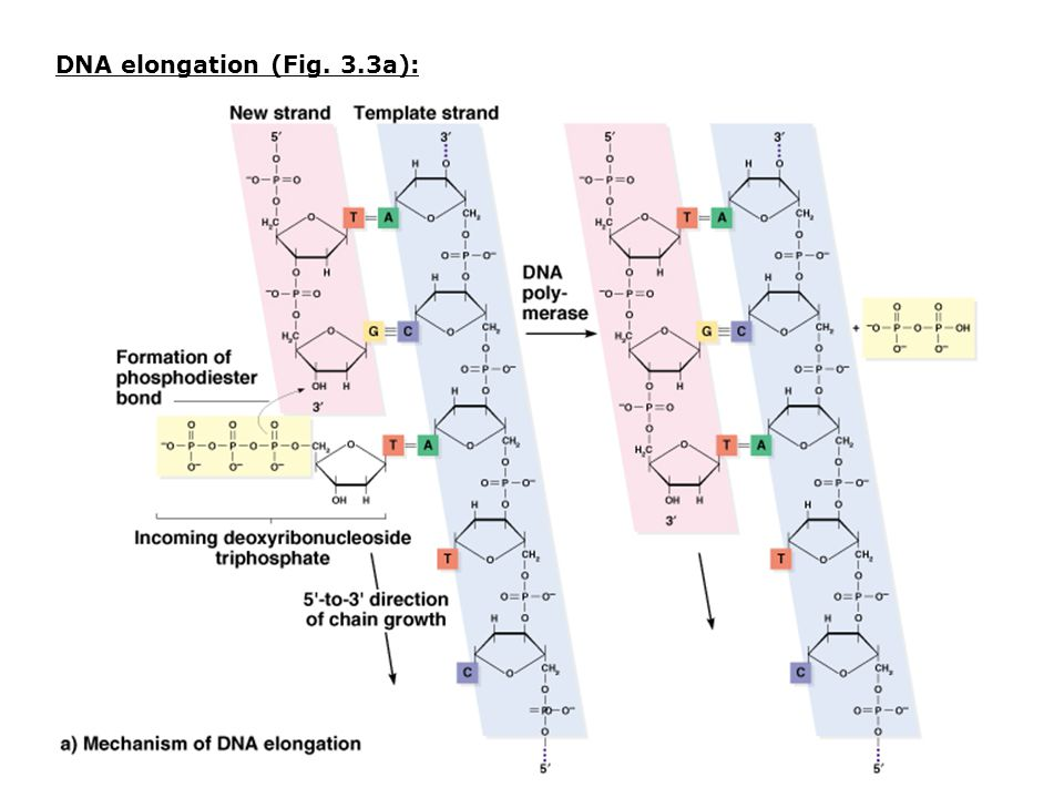 DNA elongation (Fig. 3.3a):