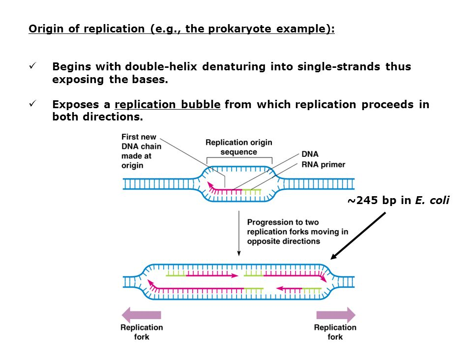 Origin of replication (e.g., the prokaryote example):